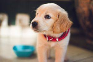 éducation canine chiot
